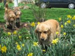 Golden_Daffodils1.jpg