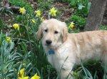 Golden_Daffodils10.jpg