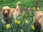 Golden_Daffodils2.jpg