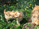 Golden_Daffodils3.jpg