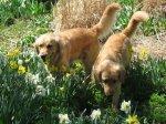Golden_Daffodils4.jpg