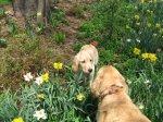 Golden_Daffodils8.jpg