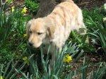 Golden_Daffodils9.jpg